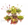 Venus flytrap Dionaea muscipula 'Venusflytrap 8 Starter Collection Package'