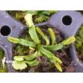 Venus flytrap Dionaea muscipula 'Wacky Traps'
