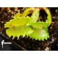 Venus flytrap 'Dionaea muscipula 'Werewolf'