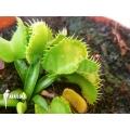 Venus flytrap Dionaea muscipula 'Werewolf Ara' starter