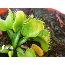 Dionaea muscipula 'Werewulf''