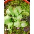 Venus flytrap Dionaea muscipula 'Werewolf Ara'