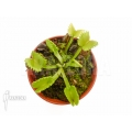 Venus flytrap 'Dionaea muscipula 'Werewolf' 'Starter''