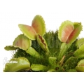 Venus flytrap 'Dionaea muscipula 'Whale'