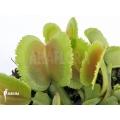 Venus flytrap 'Dionaea muscipula 'Whale' 'XL'
