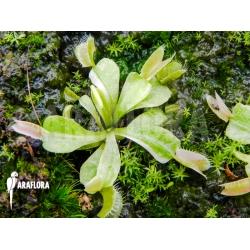 Dionaea muscipula white C