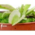 Venus flytrap Dionaea muscipula 'White cringo'