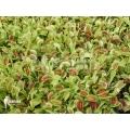 Venus flytrap 'Starter plugs' '100 x of venus flytrap' 'Dionaea muscipula'