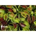 Plant plug of Venus Flytrap 'Dionaea muscipula' 'Starter plant'