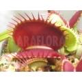 Venus flytrap 'Dionaea muscipula 'z02bcp'