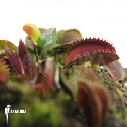 Dionaea muscipula 'Red piranha' Starter