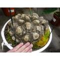 Dioscorea mexicana
