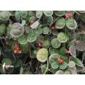 Antplant 'Dischidia astephana'
