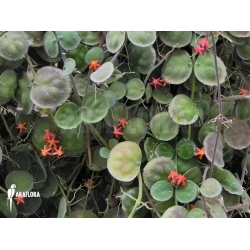 Dischidia astephana flowers