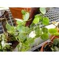 Antplant 'Dischidia glaucescens'