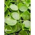 Antplant 'Dischidia nummularia'