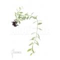 Antplant 'Dischidia oiantha Variegata' 'M'