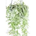 Antplant 'Dischidia oiantha Variegata' 'XL'