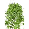 Antplant 'Dischidia oiantha' 'XL'