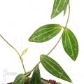 Antplant 'Dischidia ovata'