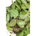 Antplant 'Dischidia ovata' 'XL'