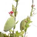 Antplant 'Dischidia pectinoides'