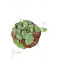 Antplant 'Dischidia platyphylla' 'XL'