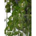 Antplant 'Dischidia ruscifolia'