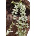 Antplant 'Dischidia ruscifolia variegata'