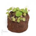 Antplant 'Dischidia species Thailand'