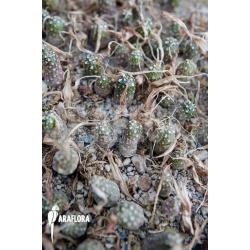 Dorstenia crispa var lancifolia