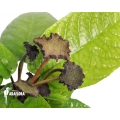 Dorstenia bahiensis