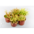 Sundew 'Drosera South Africa' 'Package 5'