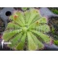 Sundew 'Drosera admirabilis' 'Starter'