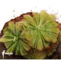 Sundew 'Drosera aliciae'