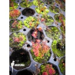 Drosera basifolia