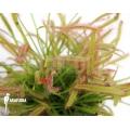 Sundew 'Drosera capensis'