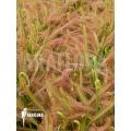 Sundew 'Drosera capensis 'L'