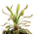 Sundew 'Drosera capensis 'Wide leaf'