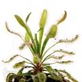 Sundew 'Drosera capensis 'Wide leaf'