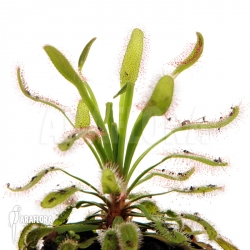 Drosera capensis 'Wide leaf'