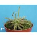 Sundew 'Drosera cistiflora'