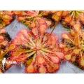 Sundew 'Drosera communis'