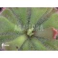 Sundew 'Drosera cuneifolia'