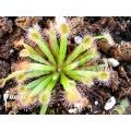 Sundew 'Drosera dilatato-petiolaris' 'Starter'