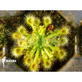 Sundew 'Drosera ericksoniae'