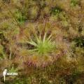Sundew 'Drosera ericksoniae x 'Pulchella'
