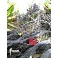 Sundew 'Drosera esmeraldae 'Avispa'