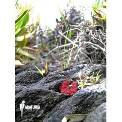 Drosera esmeraldae 'Avispa'
