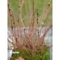 Sundew 'Drosera filiformis 'Red'